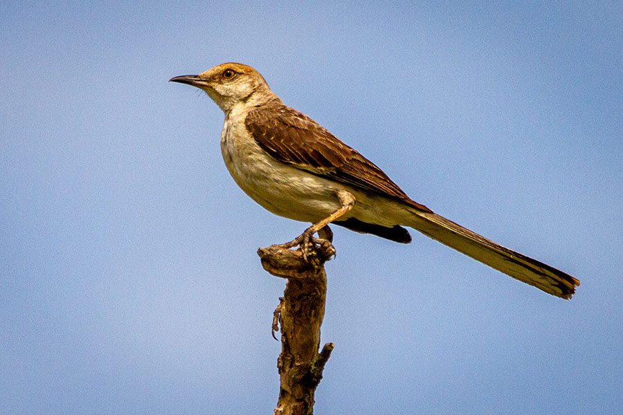 the texas state bird mockingbird